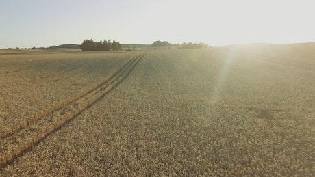 Sun shining over a wheat field