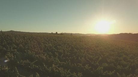 Sun shining over vineyards