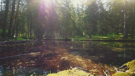 Sun shining through pine forest on mossy pond