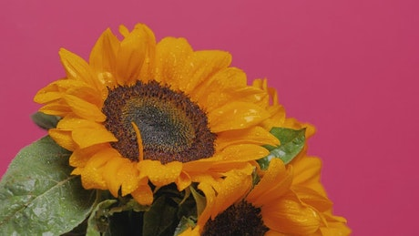 Sunflower being watered on a pink background