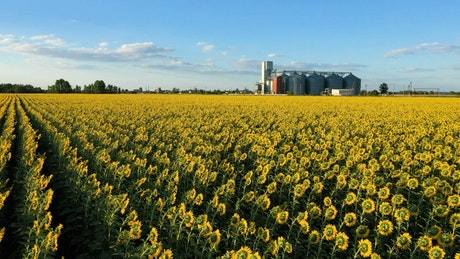 Sunflower field and industrial silos