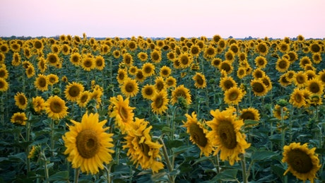 Sunflower field blooming
