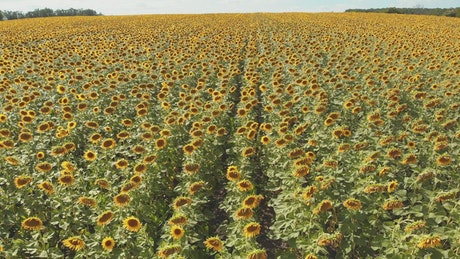 Sunflower field waving with the wind