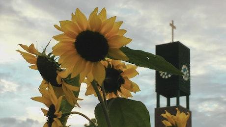 Sunflowers near a church