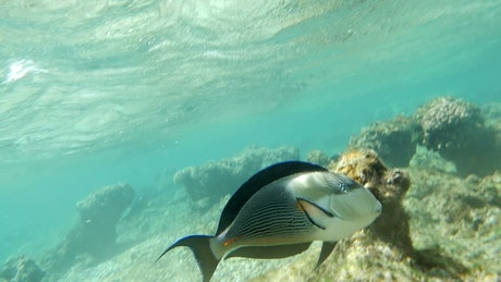 Surgeonfish swimming over coral