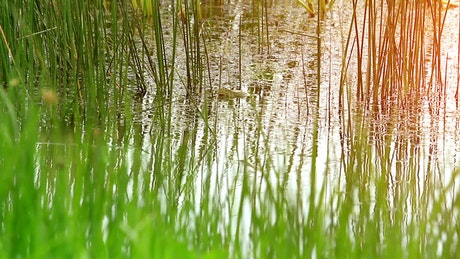 Swamp grass in shallow water