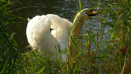 Swan feeding on grass on the shore of a lake
