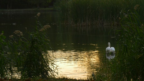 Swan slowly swimming across a lake