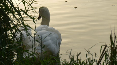 Swan swimming near the bank of a river