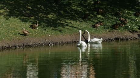Swans and ducks in the lakeshore