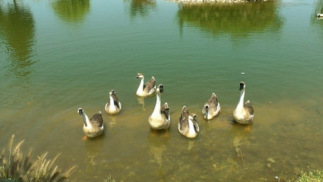 Swans family in a lake shore