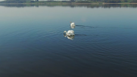 Swans moving across water
