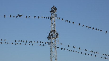Swarm of birds standing on the electric cables