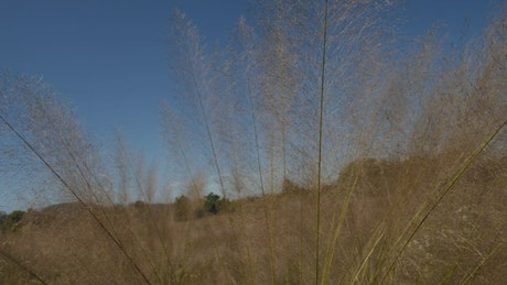 Tall and dry grass