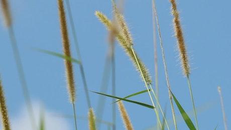 Tall grass against a Summer sky