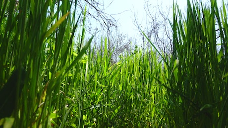 Tall grass growing in Spring
