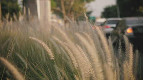 Tall grass waving in the breeze