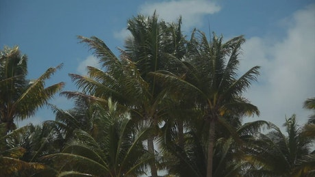 Tall Palms in the wind