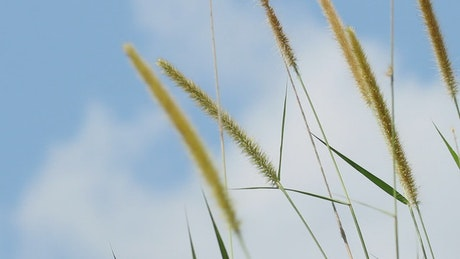Tall wild grass in the wind