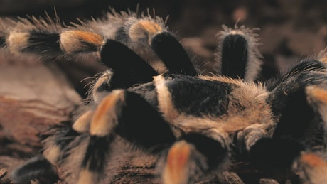 Tarantula walking, close up