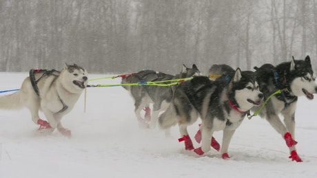 Team of husky sled dogs running in the snow