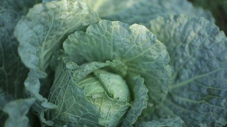 Texture of a Cabbage, close up view