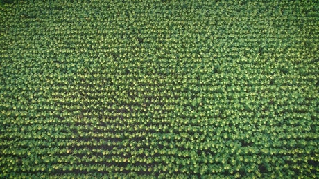 Texture of a vast field of sunflowers, aerial shot