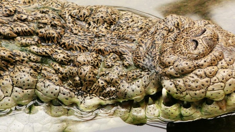 Texture of the skin of a crocodile in the water