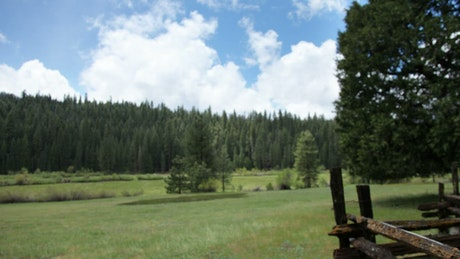 The meadow in a pine forest