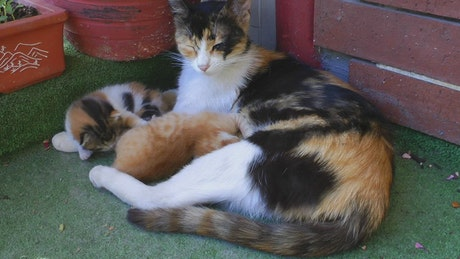 The mother cat and her young