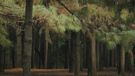 Thin tall trees