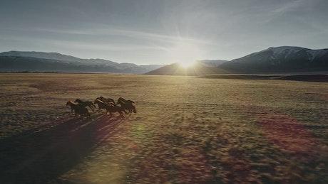 Tibetan horses running across tundra in Himalayan landscape