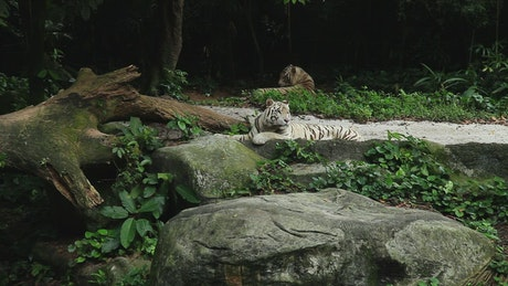 Tiger laying by a fallen tree