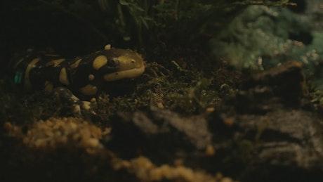 Tiger Salamander in an Aquarium