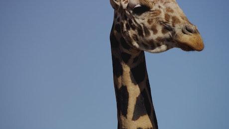 Tilt shot of the neck and head of a giraffe
