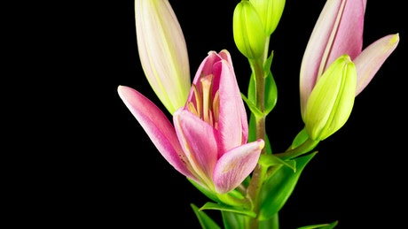 Time-lapse of a pink lily flower opening