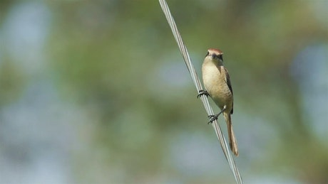Tiny bird standing on a cable