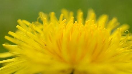 Tiny bugs on a Dandelion