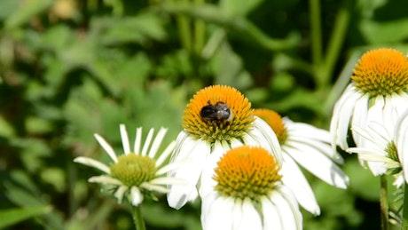 Tiny Bumblebee on a flower