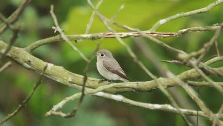 Tiny Flycatcher on a branch