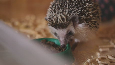 Tiny Hedgehog eating from a bowl