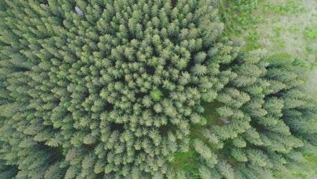 Tiro aéreo superior de pinos en el bosque