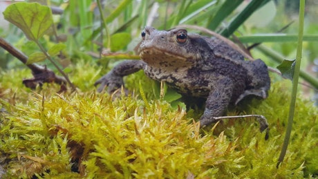 Toad in wet grass