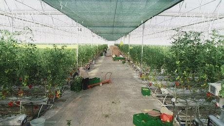 Tomato plants growing