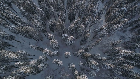 Top shot of a winter forest full of pine trees