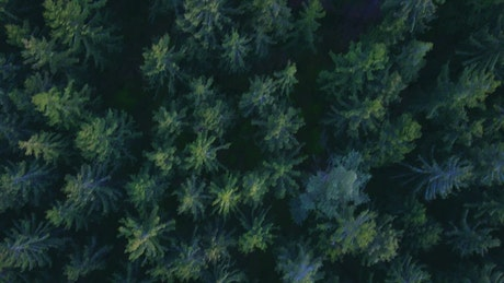 Top view of the tip of the pines in the forest