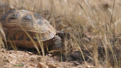 Tortoise walking through grass