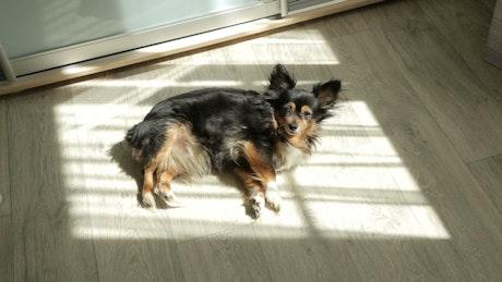 Toy Terrier taking a sunbath in the floor