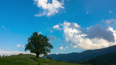 Tree and cows in the meadow time lapse