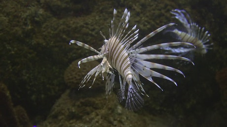 Tropical lionfish in the coral reef